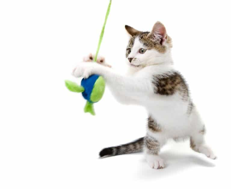 Cat playing with toy.