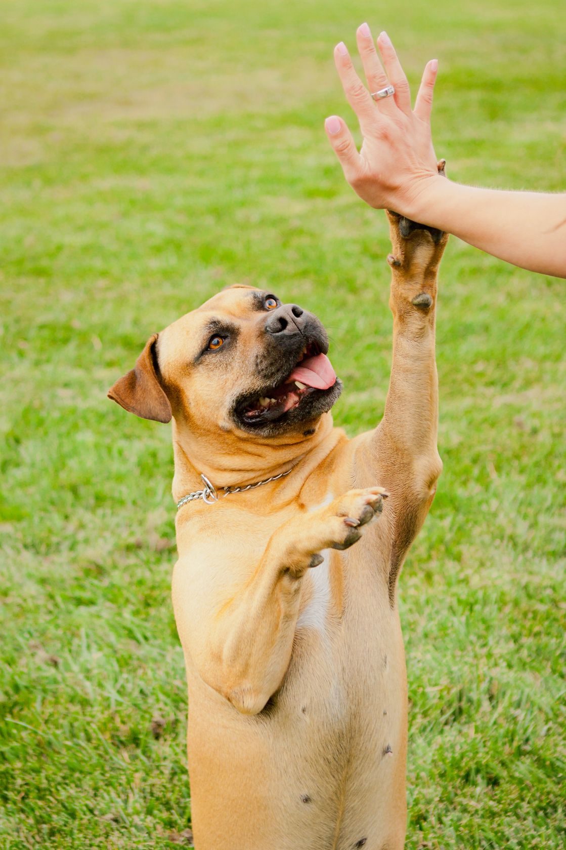 14383184 tan american staffordshire giving high five for Five star dog resort